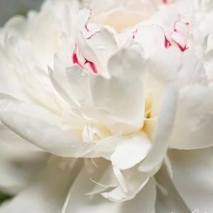 美しい白い芍薬