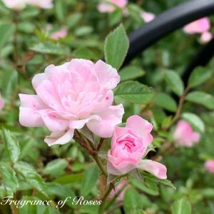 涼しかった今日はお庭のお手入れ日和りでしたね~。1番薔薇ちゃんたちもそろそろ見納め♪