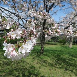 花冷えの桜