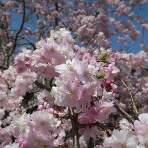 賀名生 願いが叶う桜…