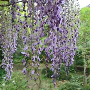 藤薫る庭で…