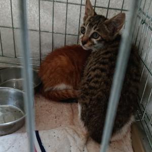 【引取協力C2020-33~34】子猫2頭 ♀キジ白、♂茶白 生後3ヶ月