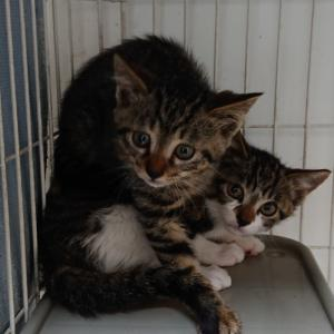【引取協力C2020-35~39】子猫5頭 生後2ヶ月半