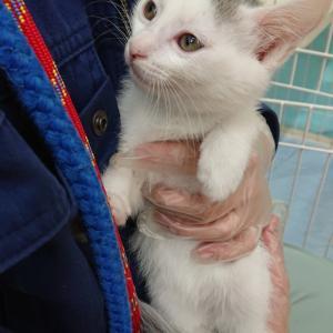 【茨城C2020-17~18】子猫♂白黒 兄弟2頭 生後2ヶ月