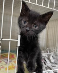 【引取協力C2021-20】子猫・黒♂ 生後1ヶ月