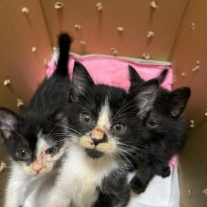 【茨城C2021-17~19】子猫3頭 生後1ヶ月半