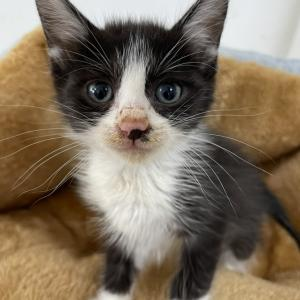 【引取協力C2021-21】子猫・黒白♂ 生後1ヶ月半