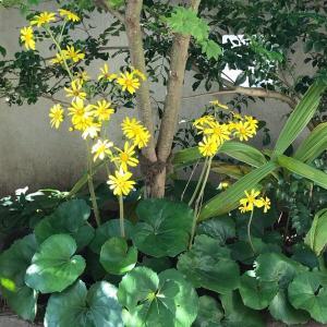 ツワブキ花