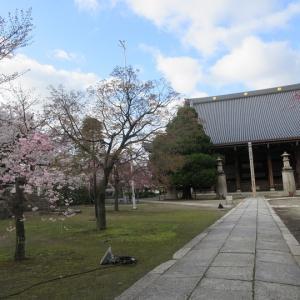 第743回 妙顕寺の桜散策~上京桜散策~その13