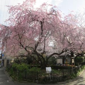第744回 寺之内通三角公園に咲く桜~上京桜散策~その14
