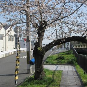 第770回 天神川桜遊歩道 後編~天神川桜散策~その4