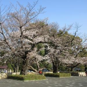 第771回 西京極の桜並木~天神川桜散策~その5