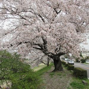 第775回 加茂街道の桜並木~鴨川桜散策~その4
