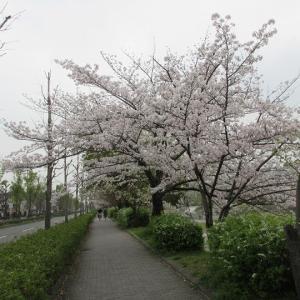 第777回 東一条通の桜並木~鴨川桜散策~その6