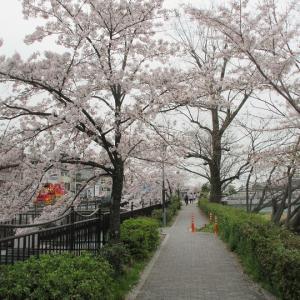 第779回 二条通周辺の桜トンネル~鴨川桜散策~その8