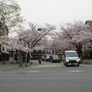 第780回 祇園西端の桜並木~鴨川桜散策~その9