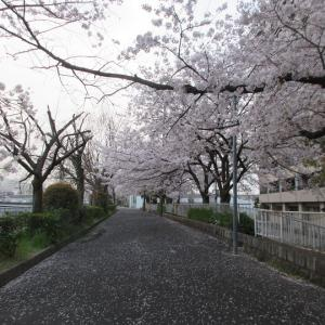 第782回 七条大橋周辺の桜散策~鴨川桜散策~その11