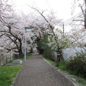 第783回 桜のこみち散策~鴨川桜散策~その12