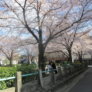 第647回 正面公園で桜散策~木屋町通桜散策~その4
