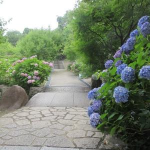 第672回 智積院は紫陽花の迷路
