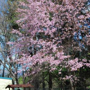 ムラの桜咲く頃 2