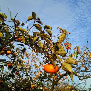 柿の木畑に、うろこ雲。やっと秋がやってきた♪*゚(*´ー`*)