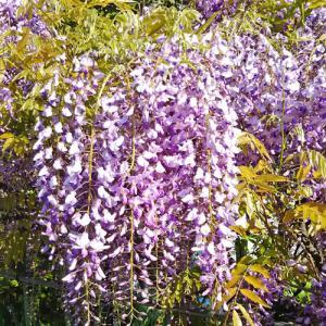 藤の花やツツジなど、多くの花が咲いたよ❀ヽ(*´∀`)ノ❀ 埼ちゃんの母・本州さん(*^-^*)