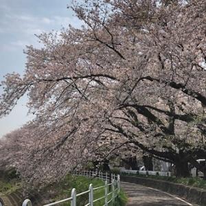 桜のトンネル・ウォーキング4.5km