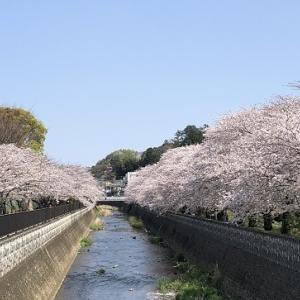 桜のトンネルをわんこ連れてウォーク4.8km