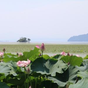 琵琶湖のハス