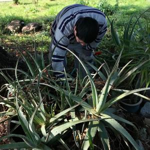 大収穫したアロエベラ