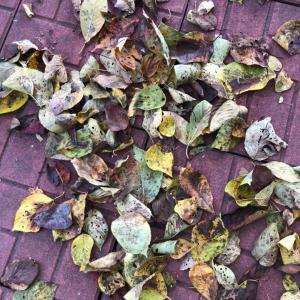 落ち葉掃き