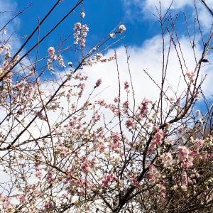 りんごと桜 連休①
