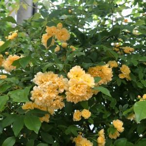 木香薔薇が咲きました