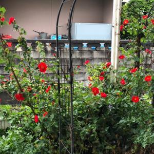 病院の薔薇が綺麗に咲きました