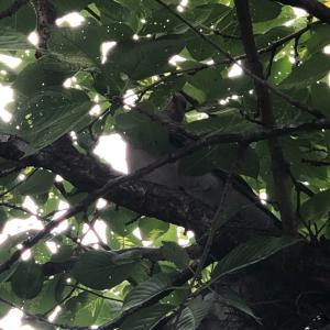 自宅の桜の木に鳩が二羽いました