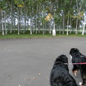 白樺林でゆっくり散歩