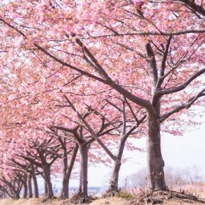 阿部池の河津桜 その1
