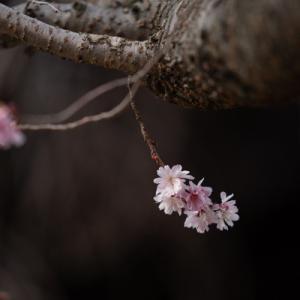 妙林寺の河津桜 その1