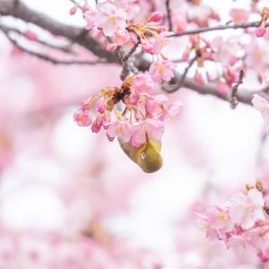 妙林寺の河津桜 その2