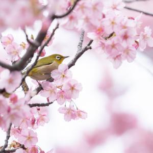 妙林寺の河津桜 その3