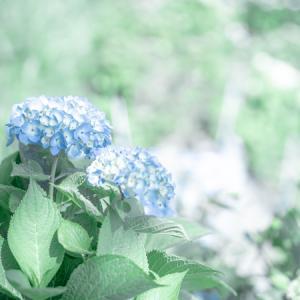 住心院さんの紫陽花 その1