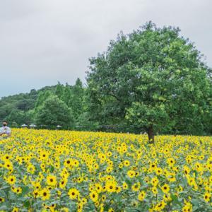 世羅高原農場ひまわりまつり2021 その1