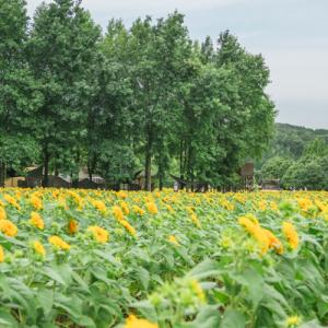 世羅高原農場ひまわりまつり2021 その2