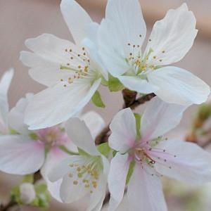 「桜」(小品盆栽)が満開
