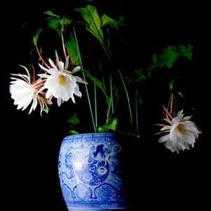 夏の夜の夢、ミッドナイトに咲く花