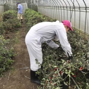 地域貢献型農福連携請負作業 ジョブファームハウス葉かき作業他