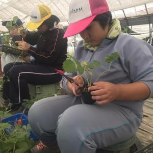 地域貢献型農福連携請負作業 真紅の美鈴のメンテナンス作業 米ぬか回収