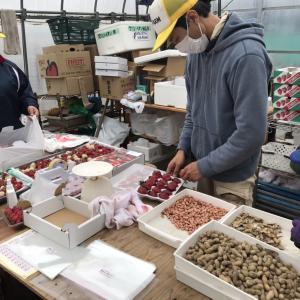真紅の美鈴収穫作業など