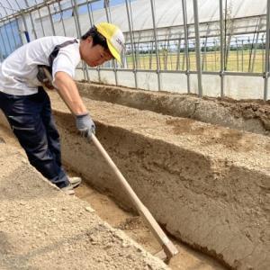 イチゴ畝仕上げ作業  ランナー切り離し  地域貢献型農福連携請負作業